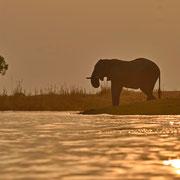 Afrikanischer Elefant ( Elephant )