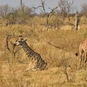 Giraffe ( Giraffe )