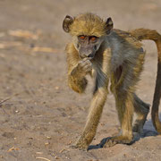 Pavian ( Baboon )