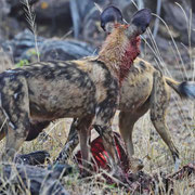 Wildhund ( African Wild Dog or Painted Dog )