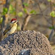Kardinalspecht ( Cardinal Woodpecker )