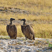 Kapgeier ( cape vulture )