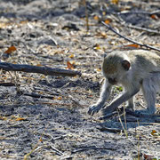 Grüne Meerkatzse ( Vervet Monkey )