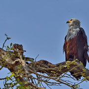 Schreiseeadler ( African Fish Eagle )