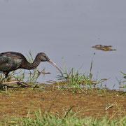 Brauner Sichler ( Glossy Ibis )