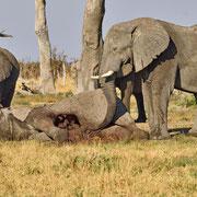 Toter Elefantenbulle ( Dead Bull Elephant )