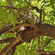 Leopard ( Leopard )
