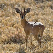 Springböckchen ( Steenbok )