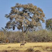 Kuhantilope ( Red Hartebeest )