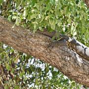 Nilwaran ( Nile Monitor )