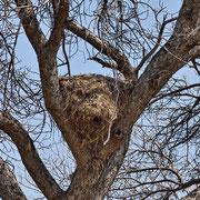 Nest Hammerkopf ( hamerkop )