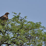 Raubadler ( Tawny Eagle )