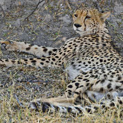 Gepard ( Cheetah )