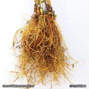Kanadische Gelbwurz (Hydrastis canadensis), Wurzel