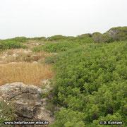 Mastix-Sträucher (Pistacia lentiscum), hier niedrig wachsend in den Dünen (Israel)