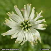 Kanadische Gelbwurz (Hydrastis canadensis), Blüte