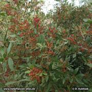 Mastix-Strauch (Pistacia lentiscum) in Blüte