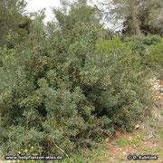 Mastix-Strauch (Pistacia lentiscum), hier über 2 m hoch wachsend im Gehölz (Mallorca)