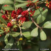 Mastix-Strauch (Pistacia lentiscum), Blüten/Früchte