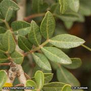 Mastix-Strauch (Pistacia lentiscum), Blätter