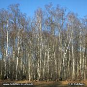 Moorbirke zusammen mit anderen Bäumen in einem Moor in Oberbayern