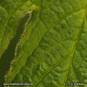 Kanadische Gelbwurz (Hydrastis canadensis), Blatthaare