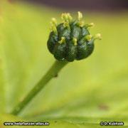 Die anfangs grüne Frucht der Kanadischen Gelbwurz (Hydrastis canadensis) färbt sich zum Schluss rot
