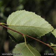 Moorbirke (Betula pubescens), Unterseite Blatt