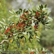 Mastix-Strauch (Pistacia lentiscum) blühender Zweig