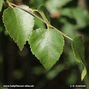 Moorbirke Blattform