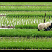 Vietnam - Reisbäuerin bei Chi Linh