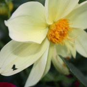 Schmetterlingsblume