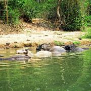 Büffel baden im Fluss