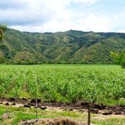 La culture intensive de cannes à sucre (près de Cali)