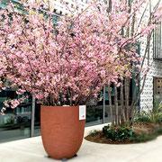 T-SITEの満開の桜。とても綺麗でした
