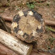 シイタケ菌がまわってきたホダ木
