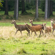 Kahlwild auf der Lichtung versammelt (Thüringer Wald 2014)