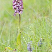 Orchis purpurea, Gologorica