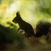 Eichhörnchen, Sachsen, Oktober 2014