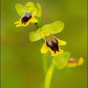 Kleinblütige gelbe Ragwurz (Ophrys sicula), Sardinien 2009