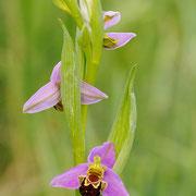 Bienenragwurz (Ophrys apifera), Sinis-Halbinsel, Sardinien 2009