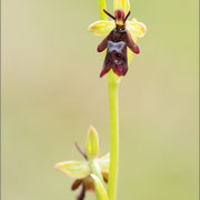 Ophrys insectifera, Paz