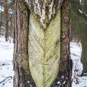 historische Harzgewinnung an der Kiefer (Darßer Urwald)