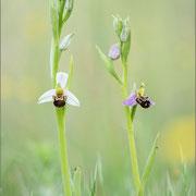 Ophrys apifera, Balem