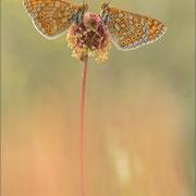 Goldener Scheckenfalter (E. aurinia)