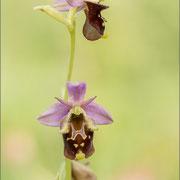 Ophrys untchjii x zinsmeisteri ?, Karvan