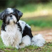 Dambo, unser Haushund
