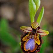 Spiegelragwurz (Ophrys speculum), Sardinien 2009