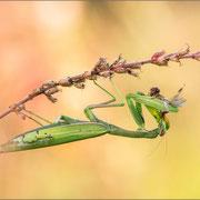 grünes Weibchen