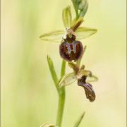 Ophrys sphegodes, Rovinji